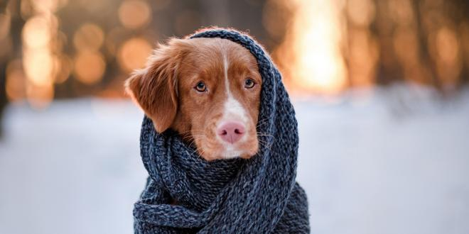Nova Scotia Duck Tolling Retriever Dog wearing a scarf outdoors in the winter.